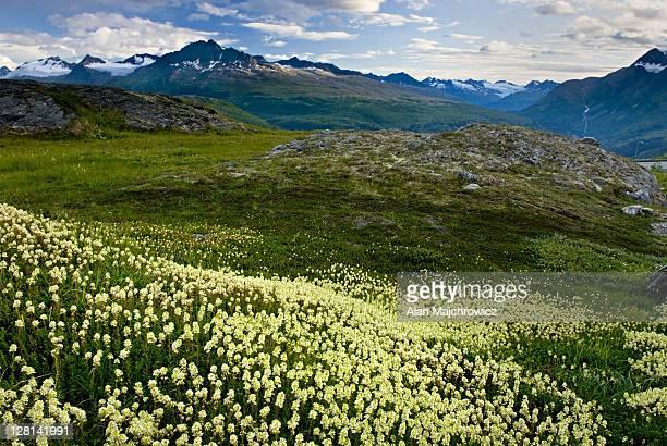 Alpine meadows carpeted with Partridge Foot, Luetkea pectinata, in the Chugach Mountains near Thompson Pass, Alaska. USA