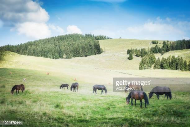 alpine meadows with freely grazing cows and horses - grazen stockfoto's en -beelden