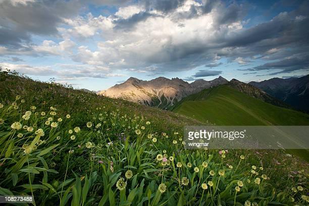 alpine meadows, ail des ours - ail des ours photos et images de collection