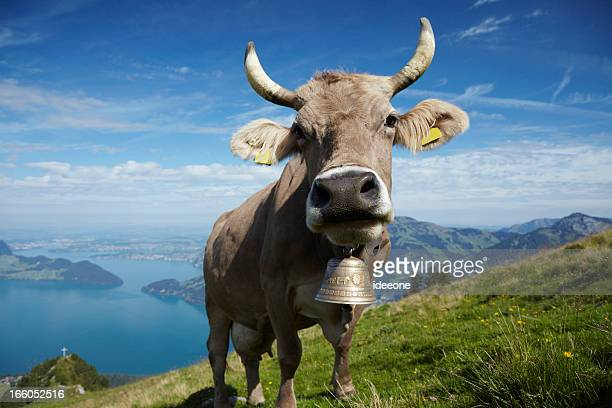 alpine milk cow - switzerland stock pictures, royalty-free photos & images