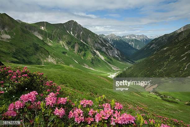 alpine mountain azalea in tirol – ÖSTERREICH