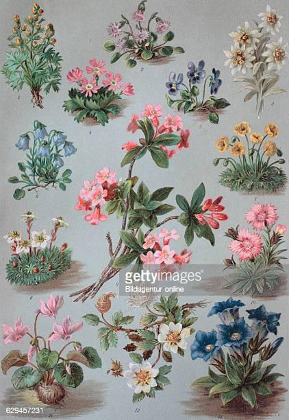 1artemisia umbelliformis also known as white genepe and genepe blanco 2snowbell soldanella alpina 3edelweiss leontopodium alpinum 4primula primula...