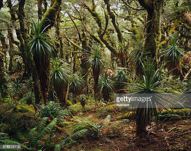 Alpine rainforest on Mount Anne Southwest National Park Tasmania Australia