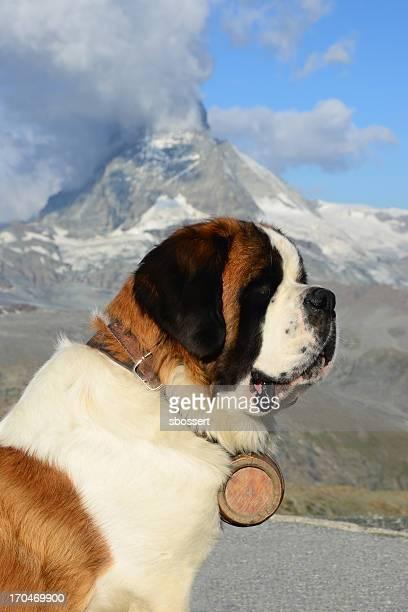 Alpine Bernhardiner Hund