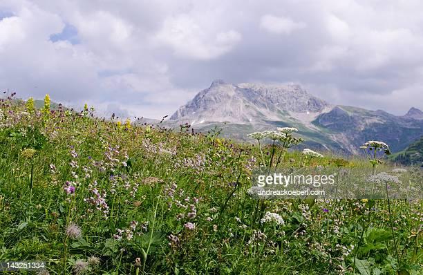 Alpine spring flowers in Austrian Alps