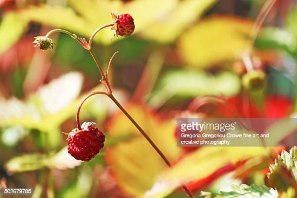alpine strawberries - gregoria gregoriou crowe fine art and creative photography. stock-fotos und bilder