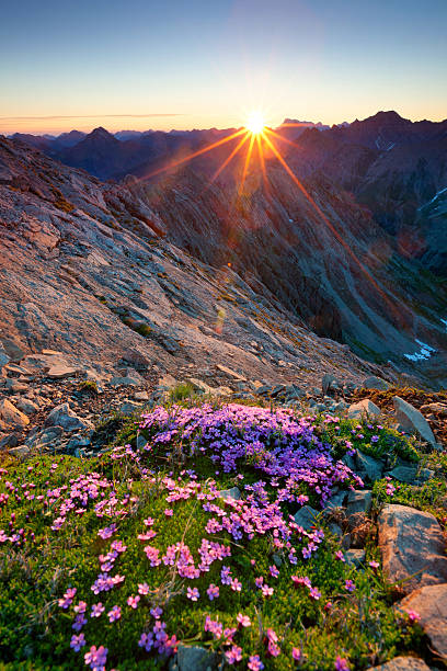 alpine sunrise with flowers in the foreground