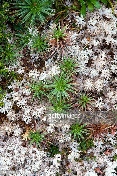 Alpine vegetation of Richea scoparia and Lichen in the Western Arthur Range in the Southwest National Park, Tasmania, Australia.