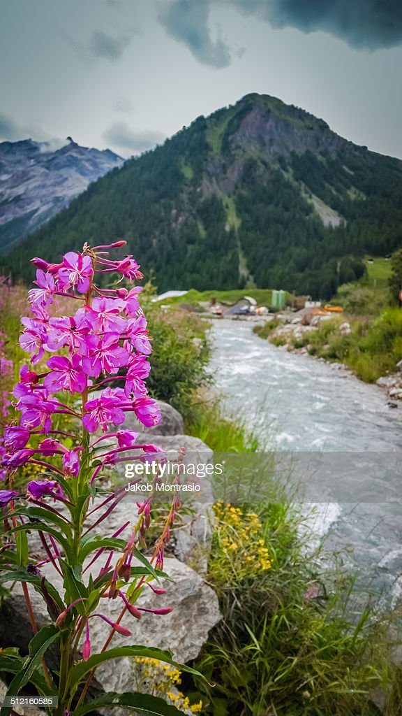 Alps flower. : Stock Photo