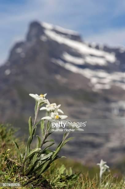 Alps-Edelweiss (Leontopodium alpinum Cass.), Valais, Switzerland