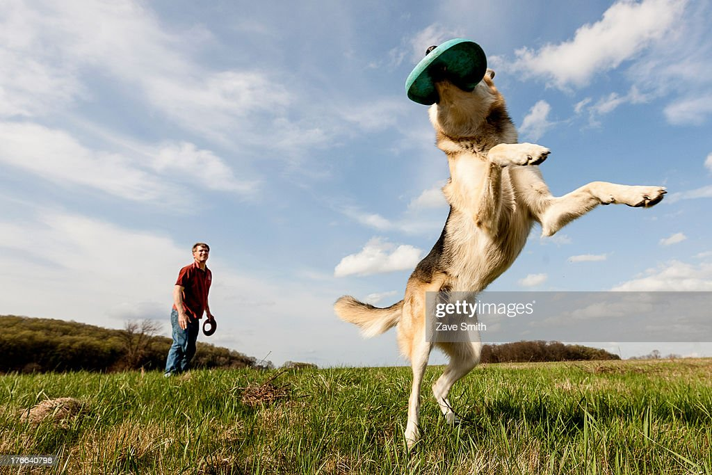 Alsatian dog catching frisbee : Stock Photo