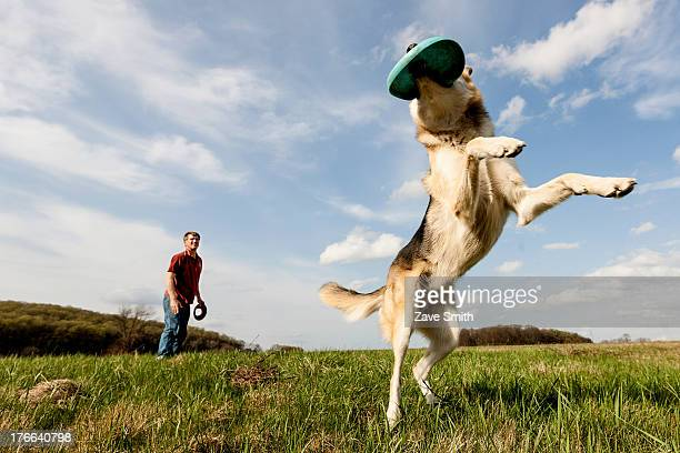 alsatian dog catching frisbee - americas next top dog stock pictures, royalty-free photos & images