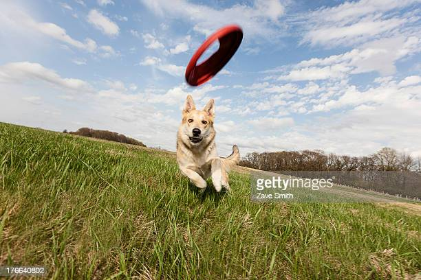 alsatian dog running through field to catch frisbee - catching stock pictures, royalty-free photos & images