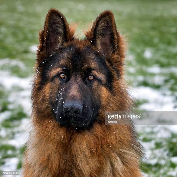 Alsatian / German Shepherd dog in garden during snow shower in winter