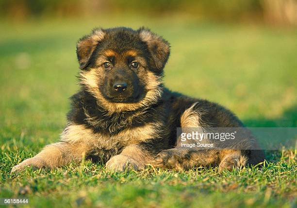 alsatian puppy - german shepherd stock pictures, royalty-free photos & images