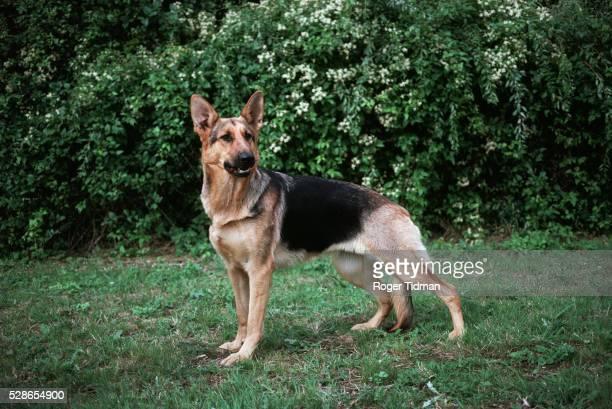 alsation dog - cão pastor alemão - fotografias e filmes do acervo