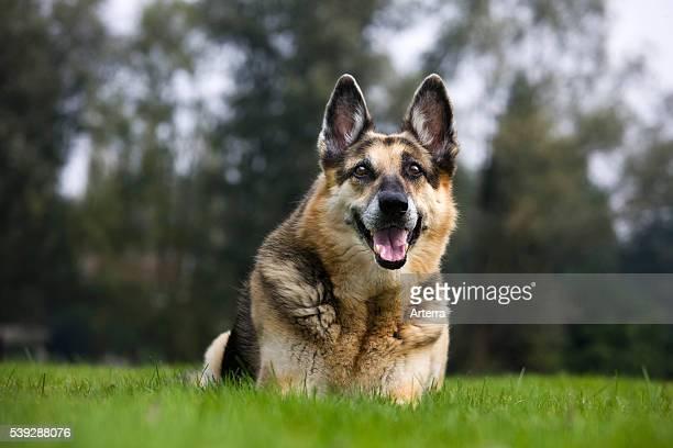 Alsation / German Shepherd dog lying on lawn in garden
