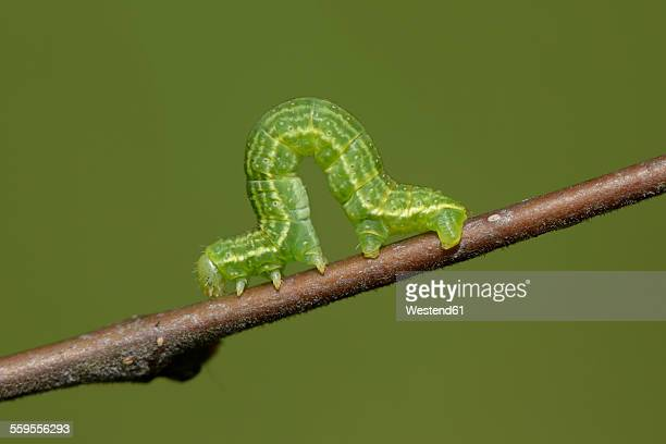 alsophila aescularia on a twig - caterpillar stock pictures, royalty-free photos & images