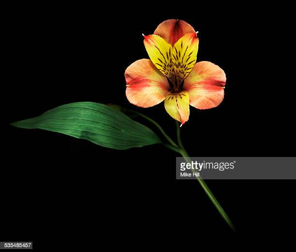alstroemeria against black background - alstroemeria stock pictures, royalty-free photos & images