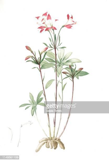 Alstroemeria, Alstroemeria Ligtu; Inca Lily, Peruvian Lily; St Martin's Flower, Redoute, Pierre Joseph, 1759-1840, les liliacees, 1802 - 1816