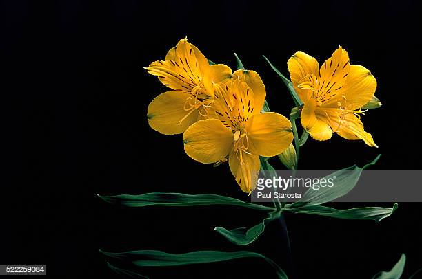 26 Inca Lily Photos And Premium High Res Pictures Getty Images