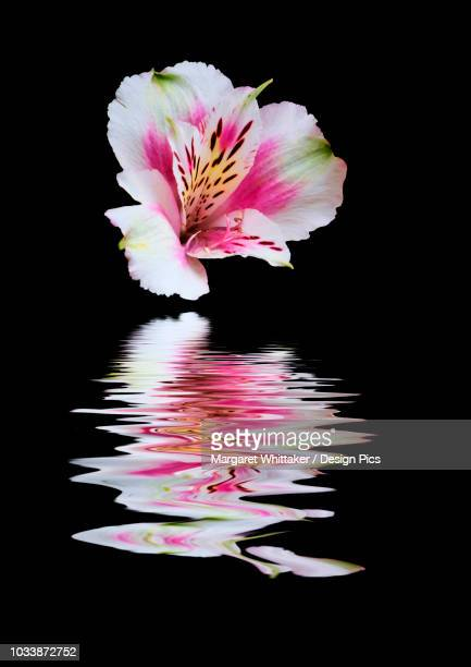 alstroemeria flower reflected in water - alstroemeria stock pictures, royalty-free photos & images