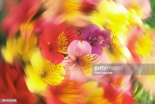 alstroemeria flowers - alstroemeria stock pictures, royalty-free photos & images