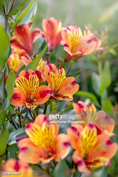 alstroemeria 'indian summer' (peruvian lily) vibrant red and yellow flowers - alstroemeria stock pictures, royalty-free photos & images