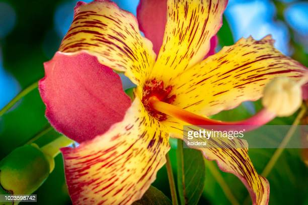 Alstroemeria or Peruvian lily or lily of the Incas