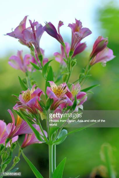 alstroemeria / peruvian lily / lily of the incas / parrot flower - alstroemeria stock pictures, royalty-free photos & images