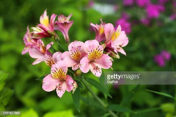 alstroemeria - alstroemeria stock pictures, royalty-free photos & images