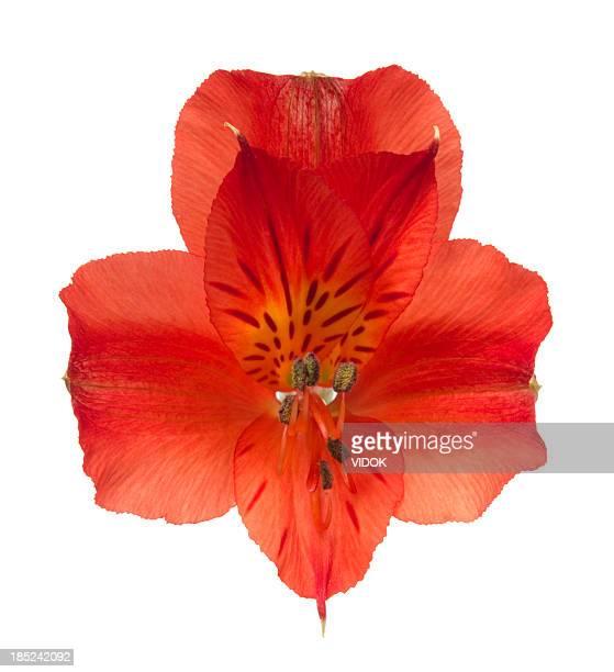 alstroemeria. - alstroemeria stock pictures, royalty-free photos & images