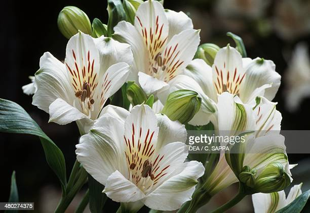 Alstroemeria Virginia Alstroemeriaceae
