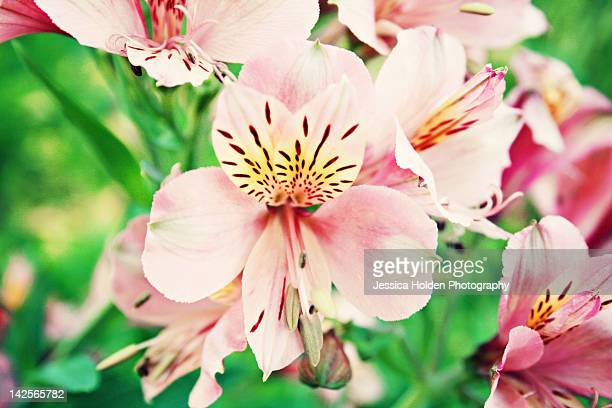 alstroemerias in springtime - stamen stock pictures, royalty-free photos & images