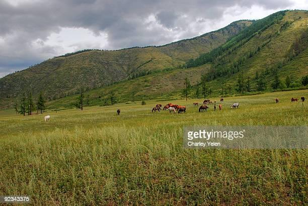 Altai's wild horses