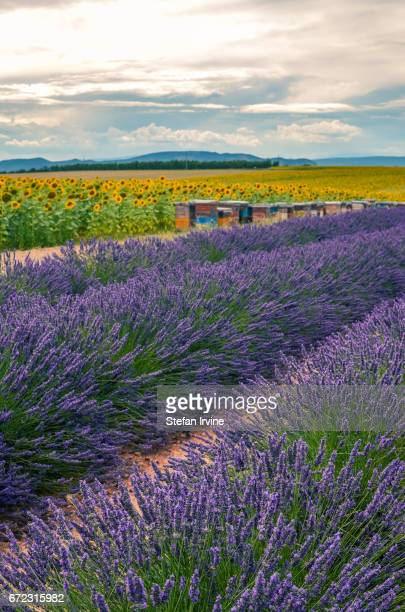 Alternating crops of sunflowers beehives and lavender in the fields outside Valensole Provence France