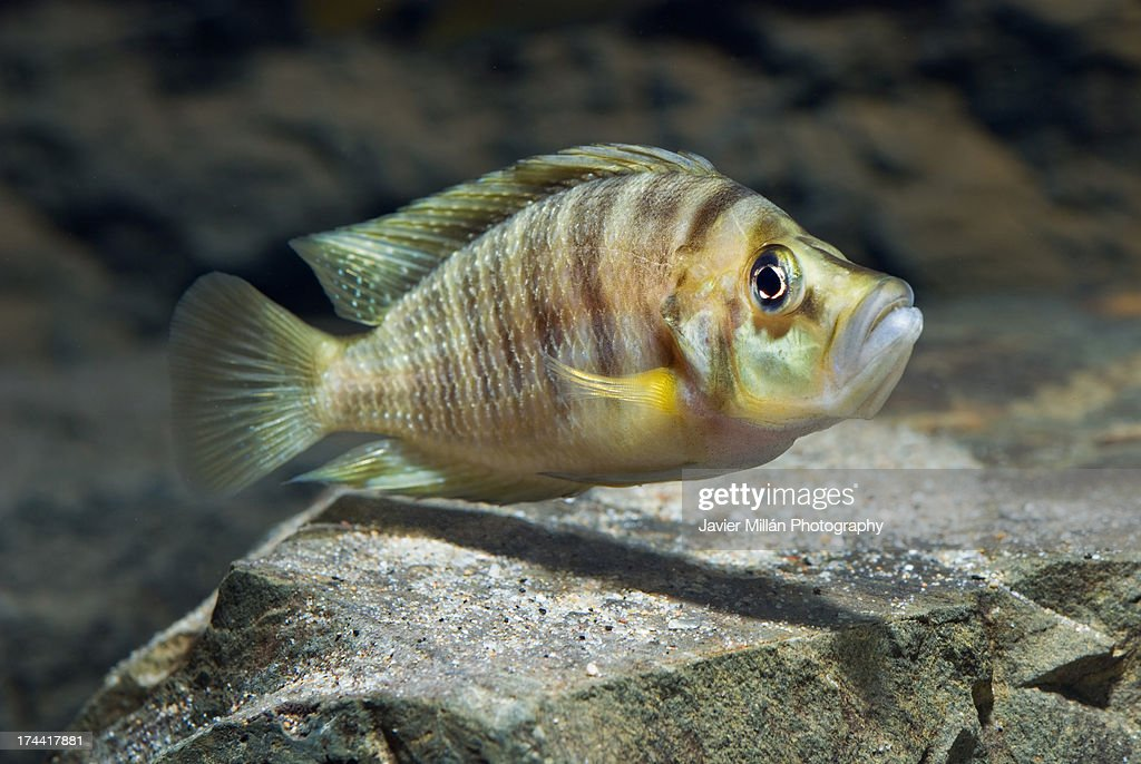 Altolamprologus compressiceps Boulenger, 1898 : Stock Photo