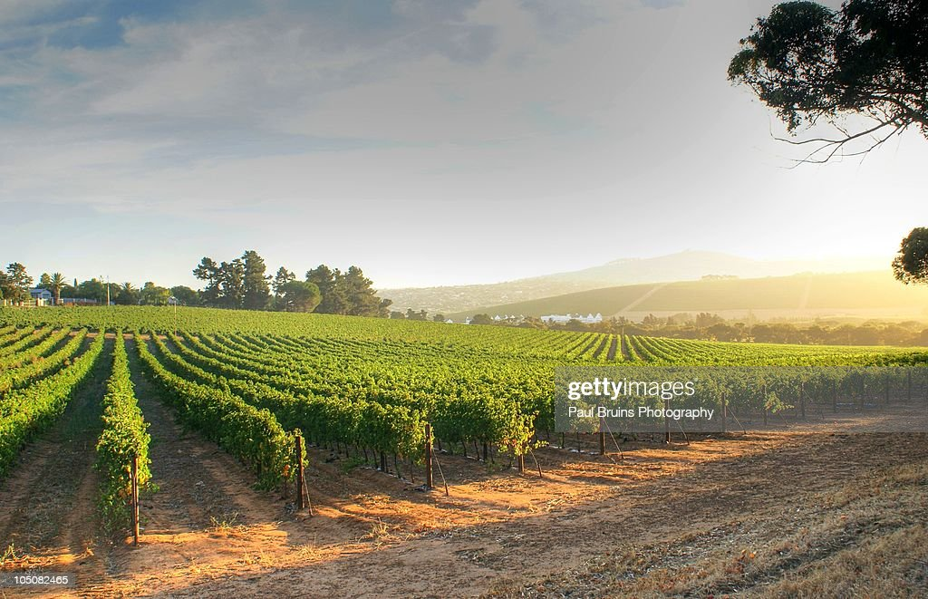 Altydgedacht Vineyards : Stock Photo