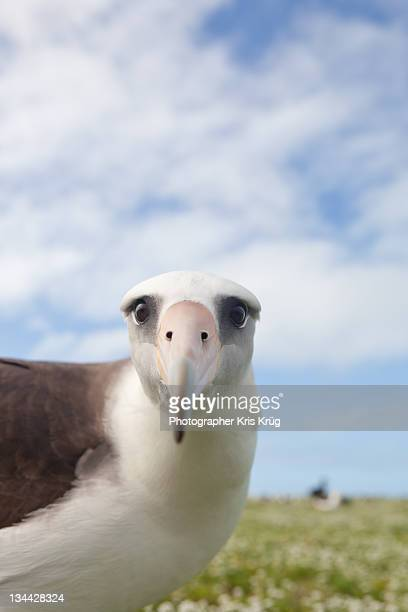 aly  albatross - midway atoll island pacific - midway atoll stock pictures, royalty-free photos & images
