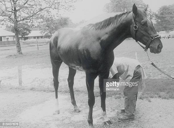 Alydar enjoys a refreshing bath while contemplating his strategy for the $150000 added Belmont Stakes in which he will once again face his rival...