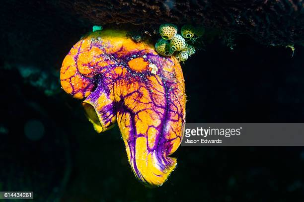 A colorful purple and yellow Gold-mouth Sea Squirt hanging from a coral reef.