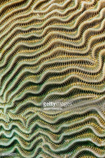 the linear wave textured surface of a hard coral on a tropical reef. - brain coral foto e immagini stock