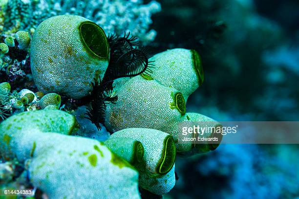 A delicate colony of Green Reef Sea Squirts perched on a reef.