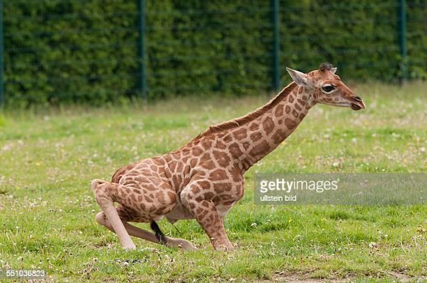 """Am wurde eine Uganda-Giraffe geboren. Bei dem Jungtier handelt es sich um ein Weibchen, das von den Pflegern auf den Namen """"Bine"""" getauft wurde. Ihre..."""