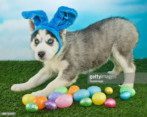 i am easter bunny - dog easter stock pictures, royalty-free photos & images