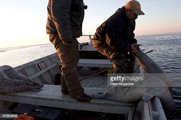 130 am Inupiat Eskimo fred Weyiouanna lifts a seal he has just shot aboard his boat during the traditional spring hunt June 16 2005 on the Chukchi...