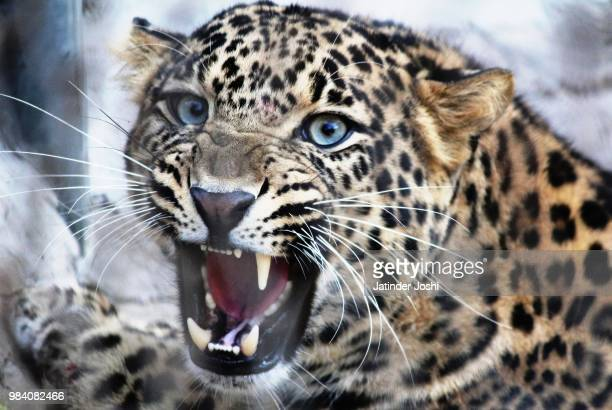 i am not a dentist! - leopard stock pictures, royalty-free photos & images