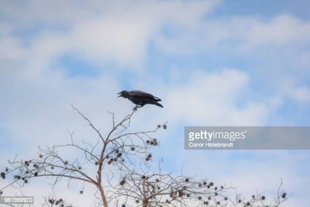 i am raven, hear me caw! - conor stock pictures, royalty-free photos & images