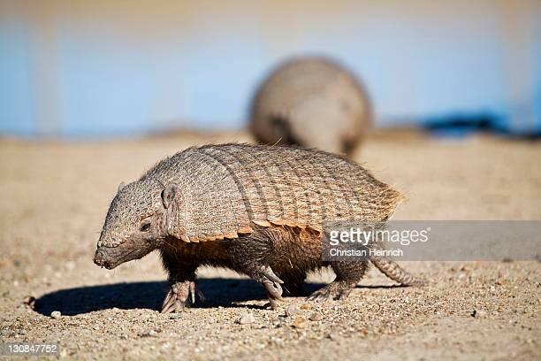 Amadillos (Dasypodidae), peninsula Valdes, Patagonia, east coast, Atlantic Ozean, Argentina, South America