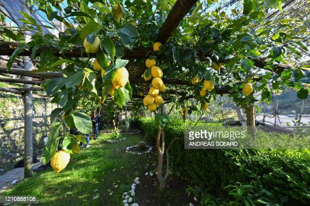 Amalfi lemons are pictured at the 'Costieragrumi De Riso' traditional lemon growing company on a typical terraced garden on the Amalfi coast on April...